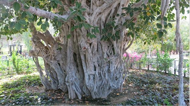 درخت انجیر معابد کیش 13960128.jpg - Wikimedia Commons