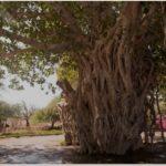 درخت انجیر معابد کیش - همیار گشت